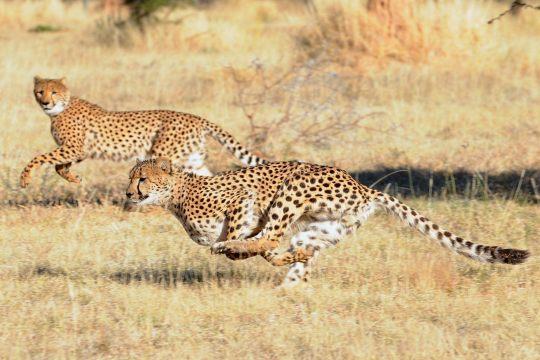 two beautiful cheetah